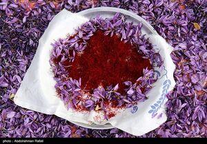عکس خبري -صادرات فلهاي زعفران؛ بيماري ??? ساله