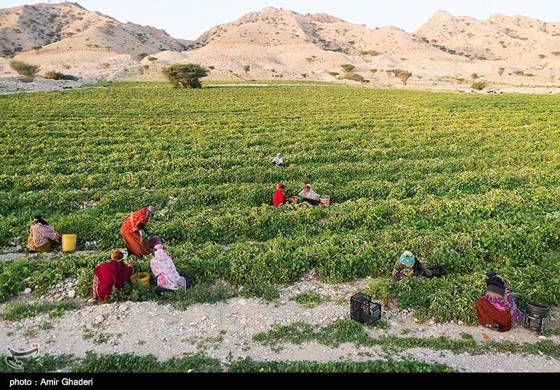 عکس خبري -بهره وري کشاورزي با شرکت هاي سهامي زراعي ?.? برابر ميشود