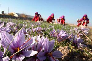 عکس خبري -صادرات زعفران ??? ميليون دلار شد