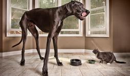 عکس خبري -  ثبت عنوان بلندقدترين سگ جهان در گينس